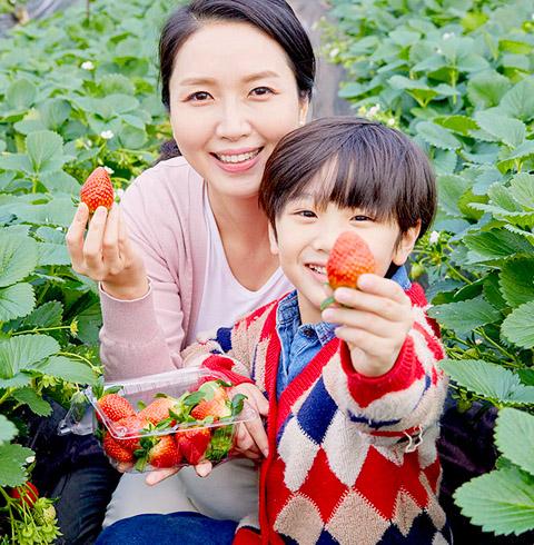 남양주 조안 딸기따기체험 농장