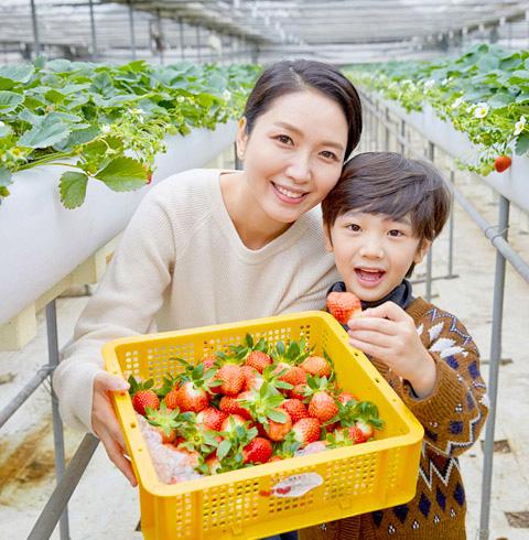 파주 월롱 딸기따기체험 농장